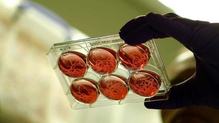 Viande in vitro